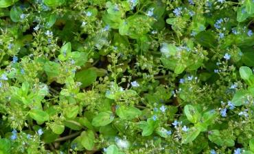 Plante de bords d'eau 0 à -50cm - Veronica beccabunga
