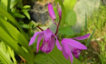 Plante zones humides - Bletilla striata-orchidée du japon