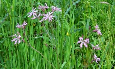 Plante zones humides - Fleur de coucou-lichnis flos-cuculi